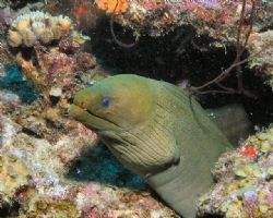 Green Moray at Blue Bay, Curacao by Jon Doud 